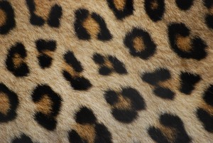Leopard_fur