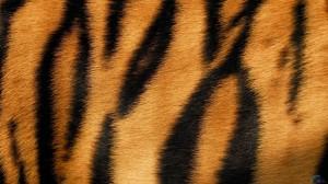 tiger-fur